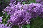 Lilacs by AriCee via Flickr