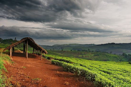 Bigstock_Tea_plantation_in_Uganda_6980732