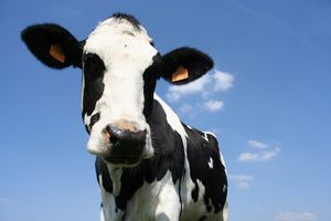 Bigstock-Cow-141206