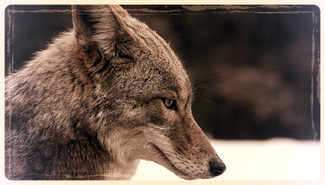 Coyote portrait via Wikipedia Commons