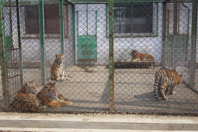 Farm tigers in cage