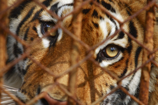 Close-up of tiger behind bars