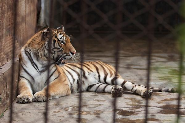 Lone-farm-tiger