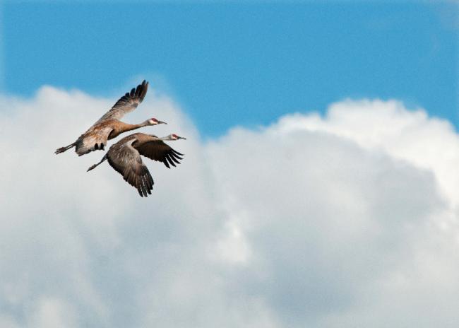 Two sandhill cranes in flight