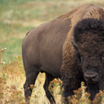 Mr. Hornaday's War: The Return of the Buffalo