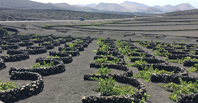 Grapevines growing in La Geria, Lanzarote, Spain