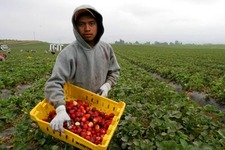 Salomon Sarita Sanchez works in a crew of strawberry pickers, made up of indigenous Mixtec immigrants from Oaxaca.