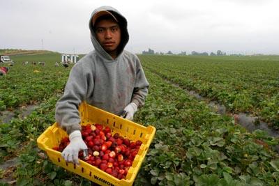The strawberry picker in Phoenix